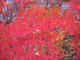 垣根も紅葉してキレイです