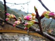河津桜(2010年2月13日)02