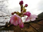 河津桜(2010年2月13日)04