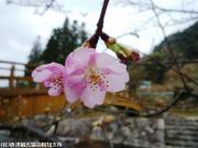 河津桜(2010年2月13日)05