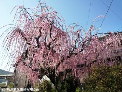 04.しだれ梅(2010年2月23日)佐々木家