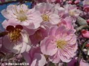 06.しだれ梅(2010年2月23日)