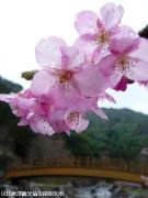 01.河津桜(2010年2月27日)