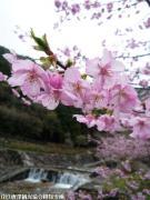 02.河津桜(2010年2月27日)