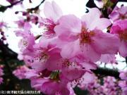 03.河津桜(2010年2月27日)