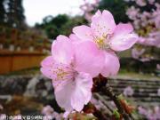 04.河津桜(2010年2月27日)
