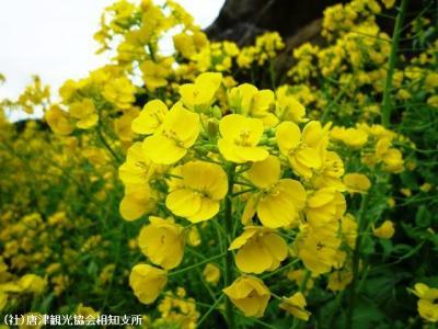 00.菜の花(2010年3月4日)