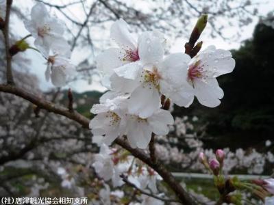 00.桜(2010年3月18日)