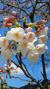 桜(2010年3月26日)