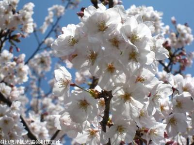 07.桜と陣跡ウォーク(2010年3月28日)