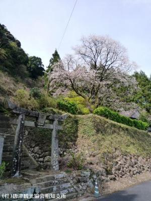 01.天神桜(2010年3月30日)