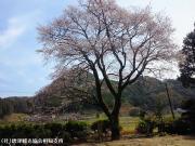 02.天神桜(2010年3月30日)