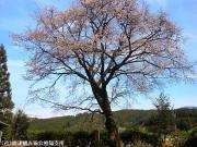 03.天神桜(2010年3月30日)