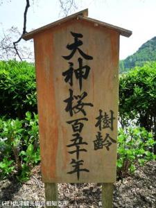 04.天神桜(2010年3月30日)
