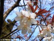 06.天神桜(2010年3月30日)