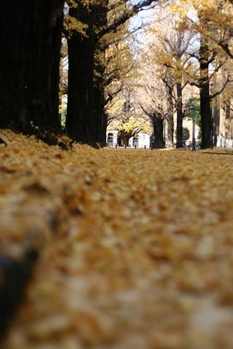 東大の並木道