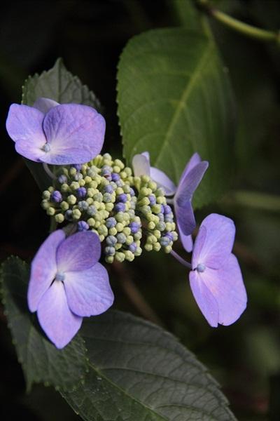 紫陽花寺 8