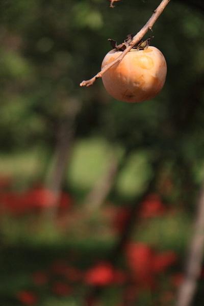 柿と彼岸花