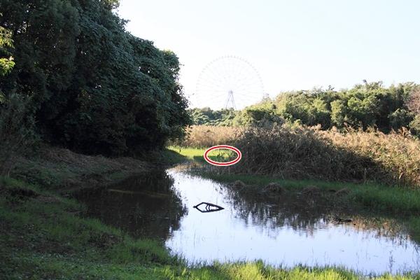 カワセミの池○