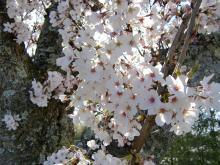 さくら、桜、櫻