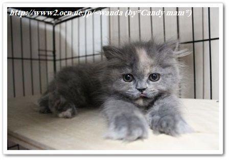 ペルシャ猫:ミル