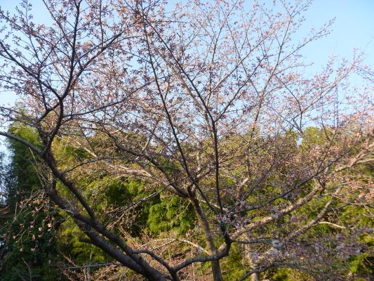 桜IMG0002