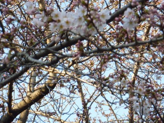 桜IMG0001