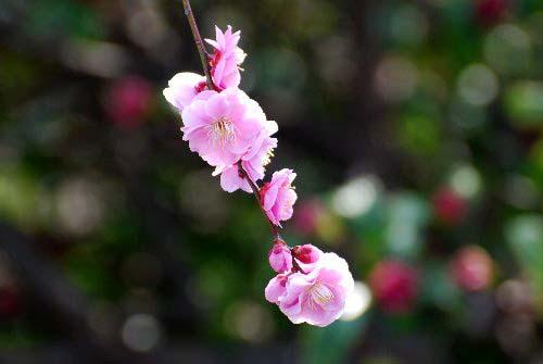 梅 枝垂れ桃