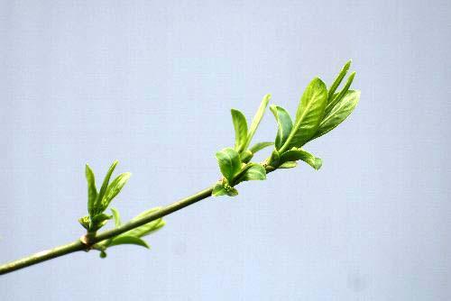 クルミの芽
