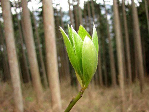a 木の芽