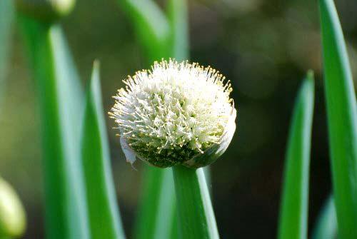 ネギボウズ 花