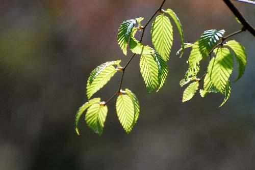 アズサの木