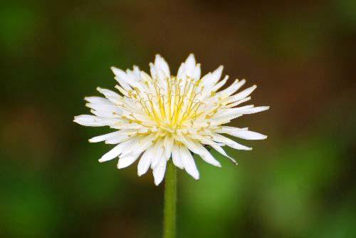 100507 白花タンポポ
