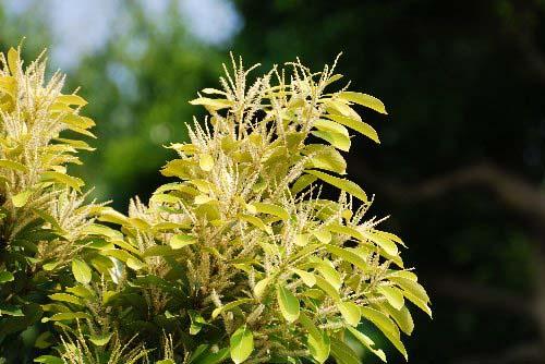 栗に似た木の花