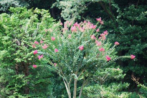 10828 サルスベリの木