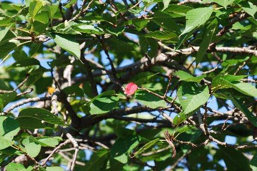 100908 桜の赤い葉