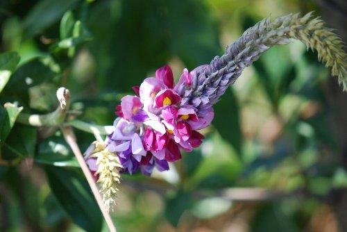 100923 葛の花