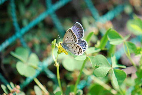 101015 カタバミ 蝶