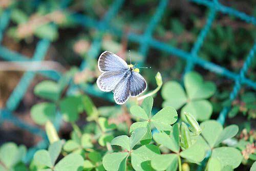 101015 カタバミ 蝶ちょ