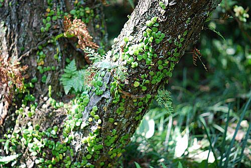 101019 マメヅタ 梅の木