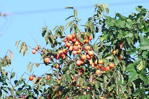 101122 柿豊作