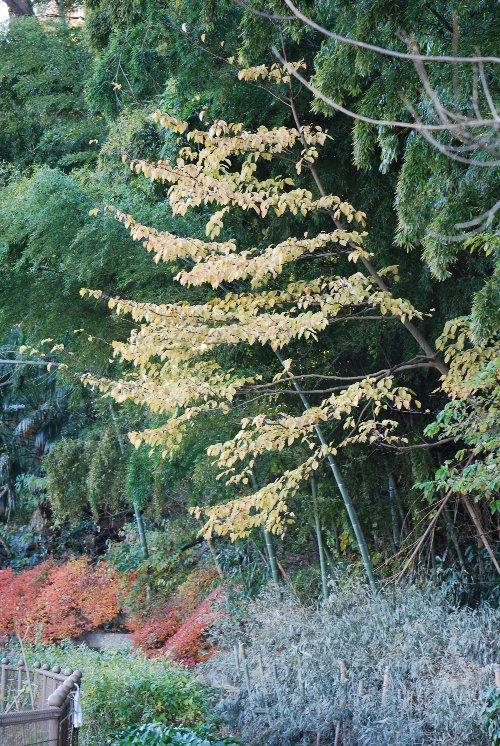 101225 竹藪の前の落ち葉の木