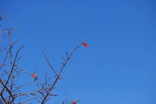 101229 桜?残り葉