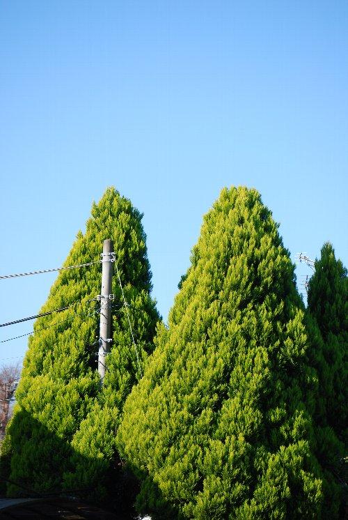 101230 電柱の木 ツイン