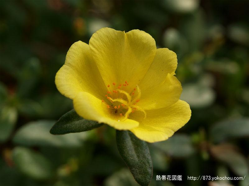 黄色いポーチュラカ