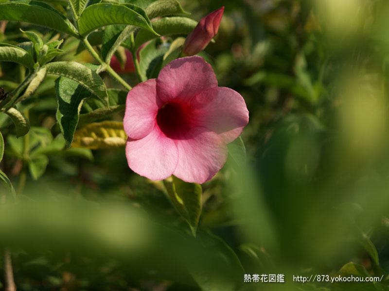 ムラサキアリアケカズラ(紫有明蔓)壁紙