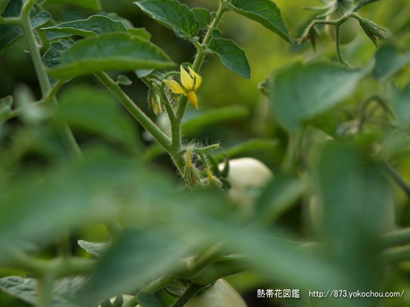 トマトの花 壁紙写真