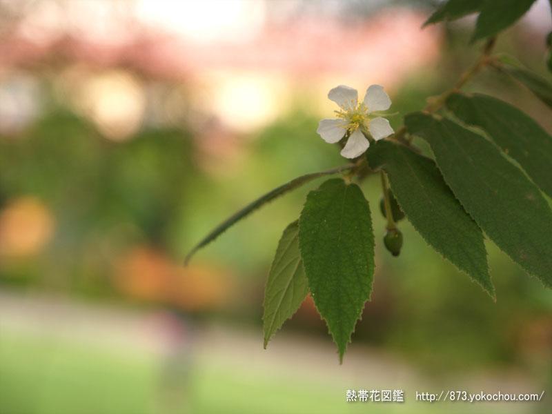 ナンヨウザクラ(南洋桜)壁紙写真