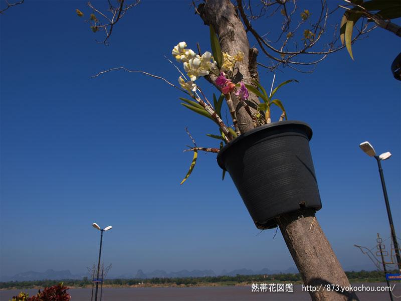乾季日和のメコンと蘭