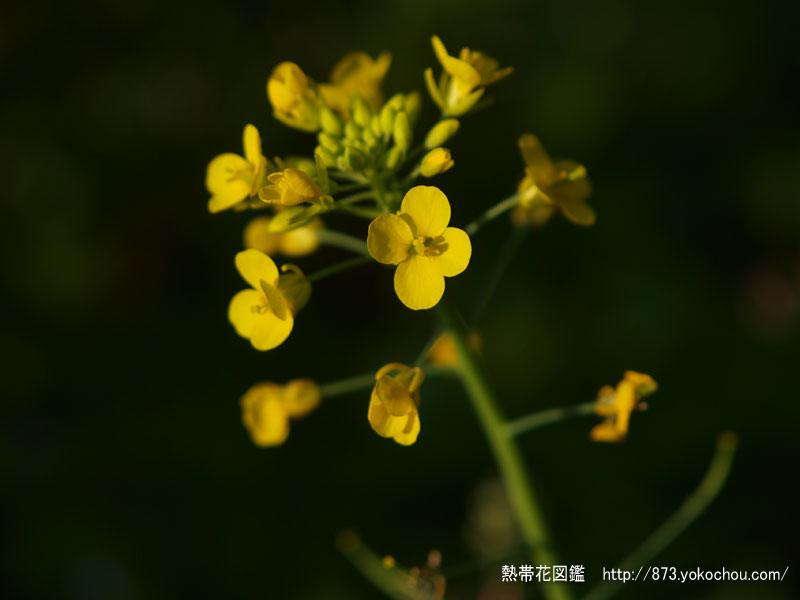 アブラナ(菜の花)壁紙写真
